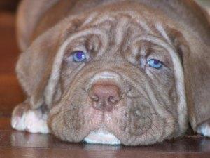 Neapolitan Mastiff pup