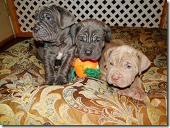 5 wk old Neo pups
