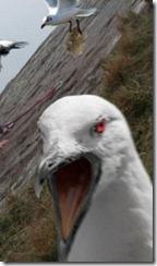 attacking bird