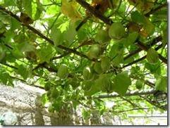 chayote vines