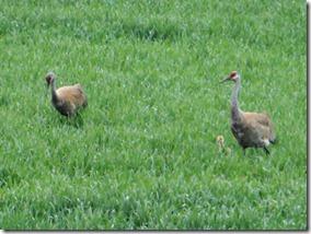 sand-hill-cranes