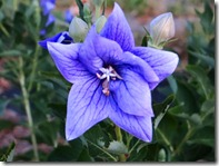 Balloon-flower