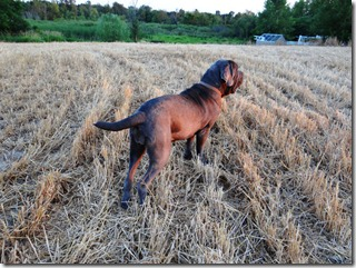 Zonie-romping-in-the-wheat-field