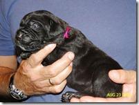 black female neo pup