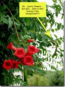 trumpet-vine-blossom
