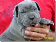 Eva-blue-female-pup @ 4 wks
