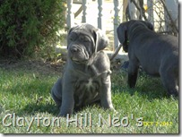 Clayton-Hill-Neo-pups