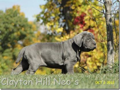 Neapolitan-Mastiff-pup-autumn