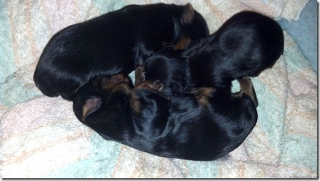 2-wk-old-Yorkie-pups