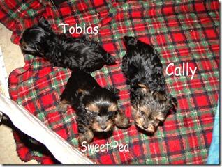 Yorkie-pups