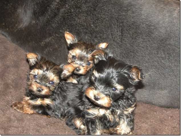 Yorkie-pups-7-wks