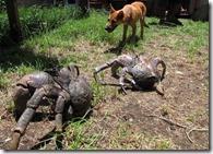 crazy coconut crab