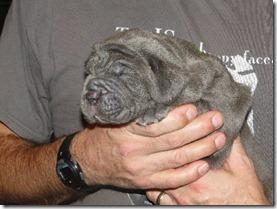 Blue Neapolitan Mastiff pup
