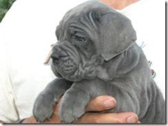 blue pup 6 wks