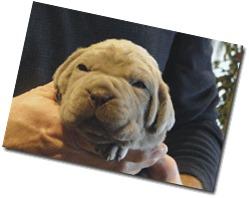 tawny-pup-2-wks-old