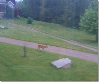 deer-in-the-front-yard