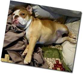 bulldogs-life