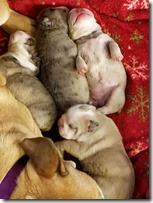 1wk-chloe-pups