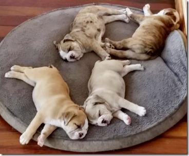 bulldog-crew