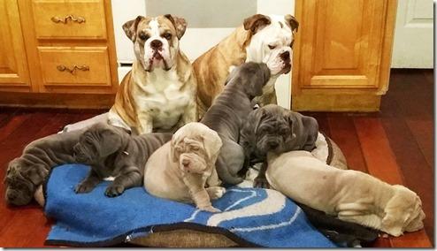 bulldog-and-neo-pups