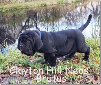 brutus-14wk
