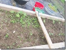beans-partially-weeded
