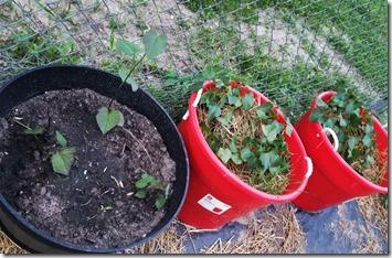 sweet-potatoes-planted