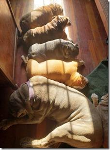 victorbulldogs