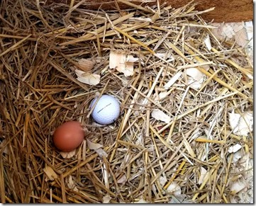 our-first-chicken-egg